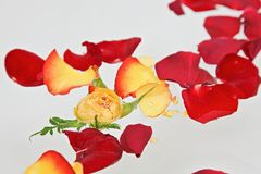 Red and yellow rose petals Stock Images