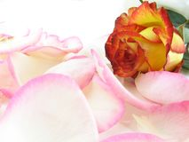 Yellow rose in pink petals royalty free stock photo