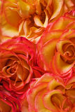 Red and yellow roses background Stock Photos