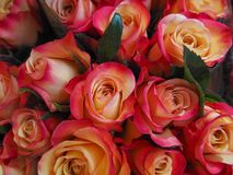 Roses up close background royalty free stock photography
