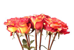 Red and yellow roses Stock Image