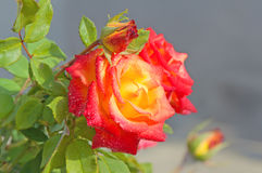 Red-yellow rose with buds Royalty Free Stock Photography