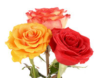 Red and yellow roses isolated Royalty Free Stock Photo