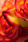 Red-yellow roses macro Stock Images