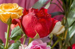 Red and yellow roses Royalty Free Stock Photos