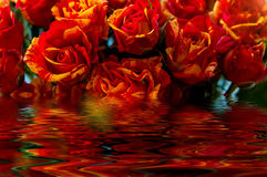 Red yellow roses water reflection Stock Image