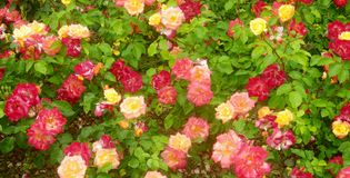 Red and yellow roses 3 stock photos