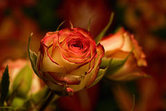 Red Yellow Spray Roses. Portrait of red and yellow Spray Roses; single rose in foreground Stock Photos