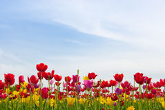 Red and Yellow Spring Stock Photography