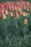 Red and yellow striped tulips Royalty Free Stock Photos