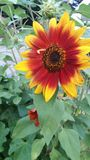 Red and yellow sunflower. Bright sunflower with green background Royalty Free Stock Image