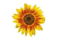 Red yellow sunflower. Rot-orange-gelbe Sonnenblume weißer Hintergrund stock photo