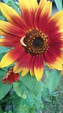 Red and yellow sunflower shines. Bright sunflower with green background Stock Photography
