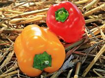 Red and yellow sweet bell peppers Stock Image