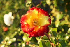 Red and yellow tea rose flower in autumn garden, decay of nature.  Stock Images