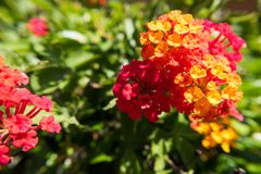 Red and yellow Tickberry flower. Royalty Free Stock Photos