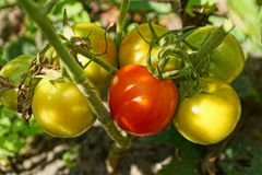 Red and yellow tomatoes on the branches of a bush in the garden. Ripe red and yellow tomatoes on bush branches in the garden stock photography