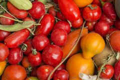 Red and yellow tomatoes. From the garden together Stock Photos