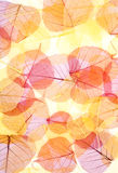 Red-yellow transparent leaves Stock Photo