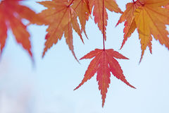 Red and yellow tree leaves on a light blue sky background in autumn. Outdoor photo without filters. Wonderfull background Stock Photos