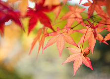 Red and yellow tree leaves on a tree in autumn background Royalty Free Stock Images