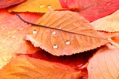 Red and yellow tree leaves with water drops Stock Photos
