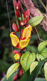 Red and yellow tropical flowers Royalty Free Stock Images