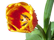 Red and yellow tulip Stock Photos