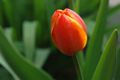 Red and yellow tulip Royalty Free Stock Photography