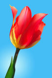 Red with yellow tulip Royalty Free Stock Images