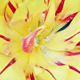Red-yellow tulip. Stock Photography