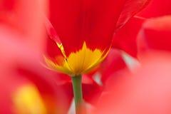 Red-yellow tulip. Stock Image