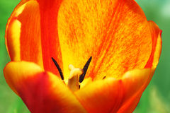 Red with yellow tulip Stock Photo