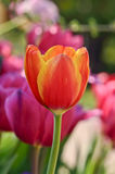 Red-yellow tulip Royalty Free Stock Image