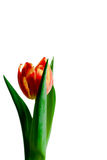 Red and yellow tulip Stock Image