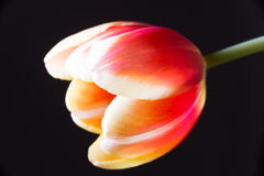 Red and yellow tulip Royalty Free Stock Photo