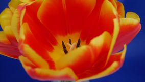 Red-yellow tulip blooming on a blue background stock footage