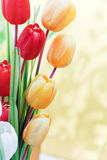 Red and yellow tulip blooming petal bouquet Royalty Free Stock Images