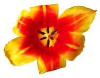 Red-yellow tulip close up isolated Royalty Free Stock Photography