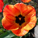 Red-yellow tulip Royalty Free Stock Photos