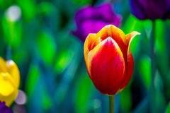 Red and yellow tulip in a field of color. Highlighted, by a field of pastel color yellows,, greens, and purple; a red and yellow tulip stands alone Stock Photos