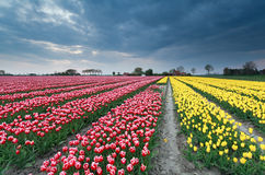 Red and yellow tulip field Royalty Free Stock Images