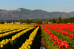 Red yellow tulip field Stock Images