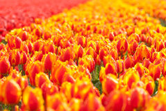 Red yellow tulip field in Holland Stock Photos