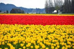 Red and yellow tulip fields Royalty Free Stock Photo