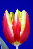 Red and yellow tulip flower Stock Photo