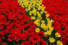 Red yellow tulip flower Royalty Free Stock Photo