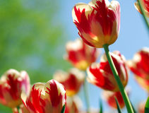 Red yellow tulip flower Royalty Free Stock Images
