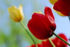 Red yellow tulip flower Royalty Free Stock Photography