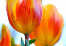 Red Yellow tulip flower Stock Photography